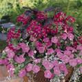 Geranium Ivy Summer Showers Series Fuchsia