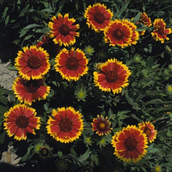 Gaillardia blanket flower aristata dazzler perennial seeds mightylinksfo
