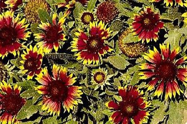 Gaillardia blanket flower aristata bijou perennial seeds mightylinksfo