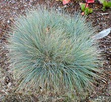Ornamental grass seed festuca fescue elijah blue seeds ornamental grass seed fescue elijah blue workwithnaturefo