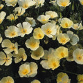 Eschscholzia California Poppy Ivory Castle