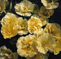 Eschscholzia California Poppy Buttermilk
