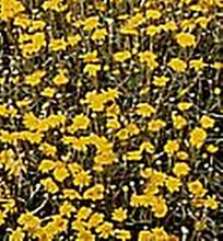 Eriophyllum Lanatum Pointe