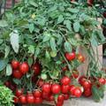 Cherry Falls Tomato