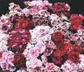 Dianthus French Frills