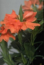 Crossandra Tropic Flame