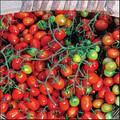 Cherry Roma Tomato