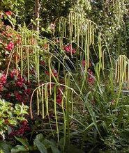 Ornamental grass seed carex pendula maxima seeds workwithnaturefo