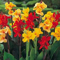 Canna Large Flowered Hybrids