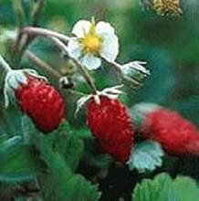 Improved Rugen Strawberry