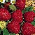 Fresca Strawberry