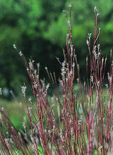 Ornamental grass seed andropogon scoparius little bluestem seeds workwithnaturefo