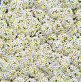 Alyssum Wonderland Series White Annual Seeds