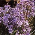 Agapanthus  Africanus Queen Ann Perennial