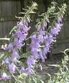 Adenophora Ladybells Liliifolia Perennial