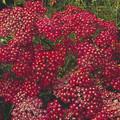 Achillea Yarrow Millefolium Cerise Queen Perennial