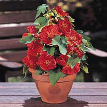 Abutilon Bella Series Red Annual Seeds