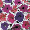 Petunia Frost Mix Seed