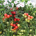 Cherry Fountain Red Tomato Seeds