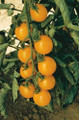 Sweet Million Gold Tomato Seeds