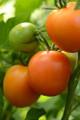 Perfect Flame Tomato