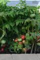 Tidy Rose Tomato