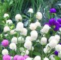 Gomphrena Las Vegas White Seeds