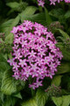Pentas Glitterati Purple Star PL Seeds