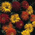 Zinnia Mini Cactus Mix Seeds