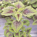 Amaranth Chinese Spinach Red Green Calaloo