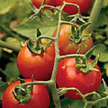 Fox Cherry Tomato