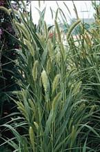Ornamental Grass Seed - Setaria Viridis