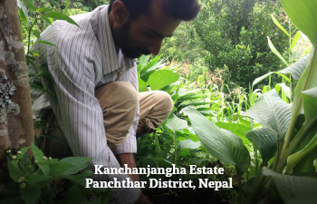 Kanchanjangha Estate, Panchthar District, Nepal