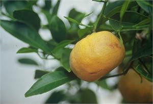 mandarin, green
