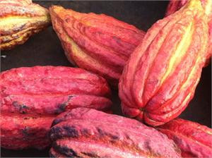 Cacao Absolute