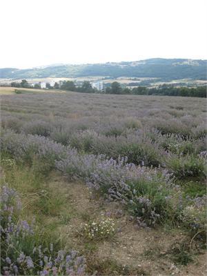 lavender bulgaria