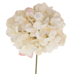Vibrant Hydrangeas Flowers in Creamy White with Touch of Pink