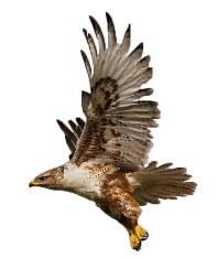 flying-owls-and-raptors.jpg