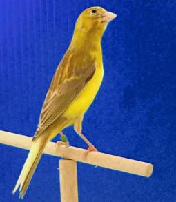 noel-white-canary-web.jpg