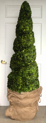 PRESERVED BOXWOOD SPIRAL TOPIARY - 75""