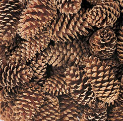 "MEDIUM PINE CONES ON 6"" PICK - NATURAL - 100 PCS"