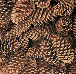 "MEDIUM PINE CONES - NATURAL - 3""- 4"" - 100 PCS"