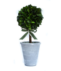 PRESERVED LAUREL TOPIARY - 16""