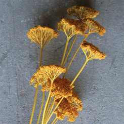 YARROW YELLOW 10 PCS PACKED 12