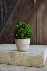 PRESERVED BOXWOOD MINI BALL IN POT - 4""