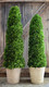 """Shown with 51"""" Spiral Topiary"""