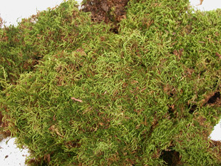 SHEET MOSS - NATURAL - 3 LB - GREEN