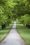 1 Evergreen Oak Tree 30-50cm 'Quercus Ilex', Ornamental Tree, Grow Acorns