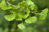1 Ginkgo Biloba (Maidenhair Tree) , 2-3ft Tall In 2L Pots, Ginkgo Tree