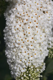 3 Buddleia davidii 'White Profusion' 1-2ft tall in 2L pot Buddleja Butterfly Bush